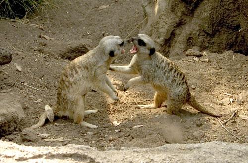 meercats wrestling