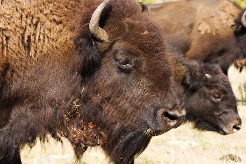 09-09-448-bison-close.jpg