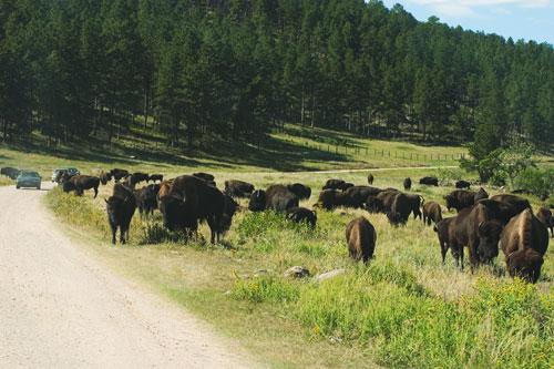 09-09-455-road-bison.jpg