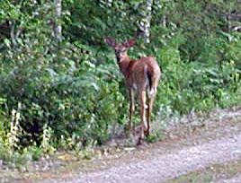 deer-7.22.04.jpg