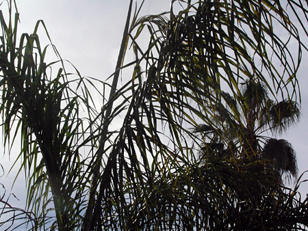 Palm-fronds.jpg