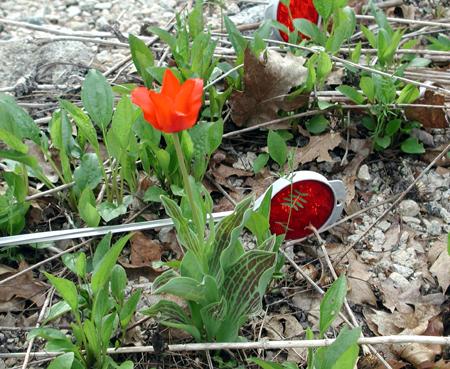 Tulip-wins.jpg