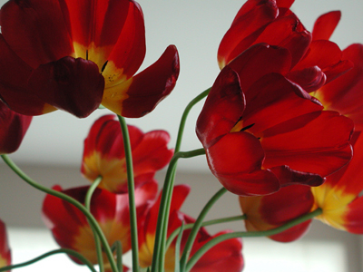 red-tulips06.05.04.jpg