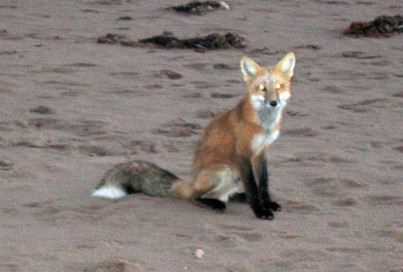 PEI-fox.jpg