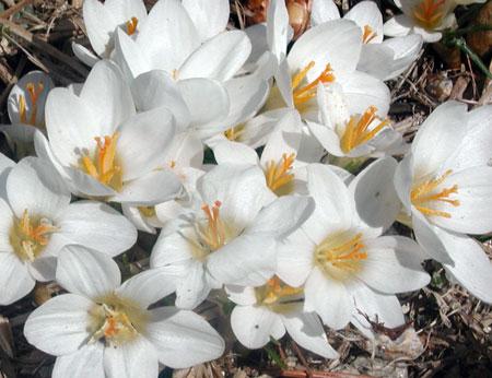 crocus-blooms-2.jpg