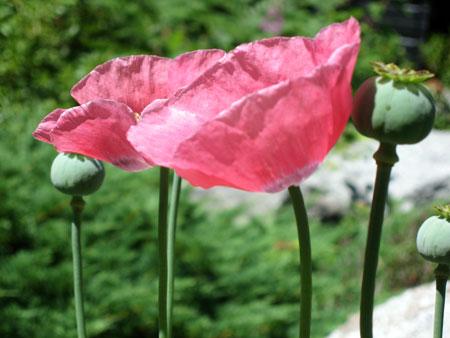 pink-poppies.jpg