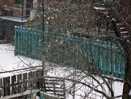 snow.pear.jpg