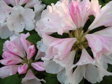 pink-rhodi-06.jpg