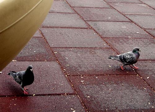 0220pigeons.jpg