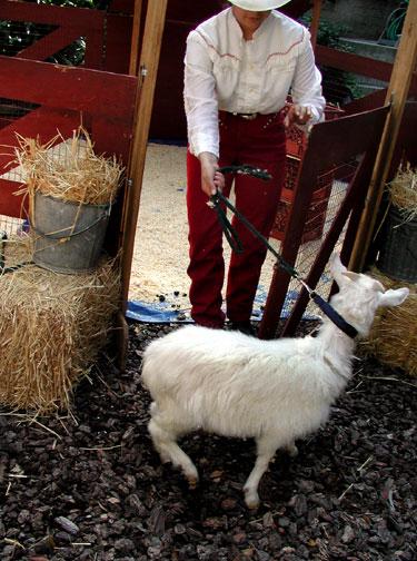 goat-into-pen.jpg