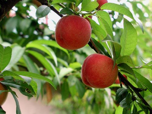 [تصویر: peach-tree.jpg]