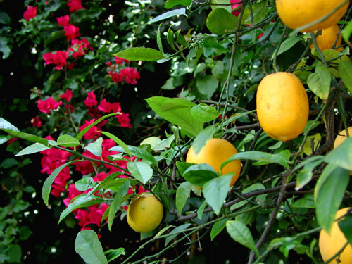 lemon-boug.jpg